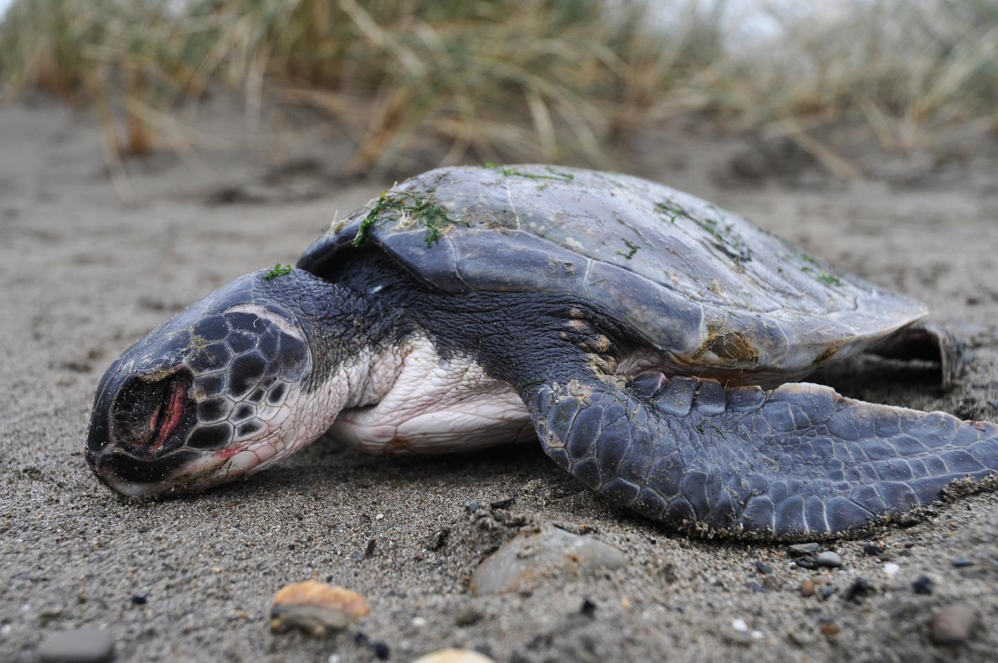 Mystery Over Decline In Sea Turtle Sightings